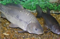 Прода живую рыбу (карп,  толстолоб)