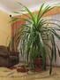 Комнатное растение Панданус