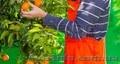 Работа в Испании.Сбор цитрусовых.