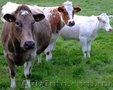 Вирощування курей та бичків на м'ясо - Изображение #2, Объявление #1535493