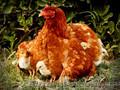 Вирощування курей та бичків на м'ясо