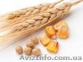Куплю зерно кукурузы,  пшеницы и сою не ДСТУ