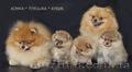 Миленькие щенки померанского шпица
