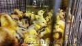 Курчата, каченята, індичата! - Изображение #2, Объявление #1643652